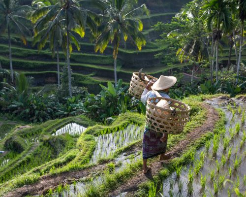balinese rice field worker in a middle of rice fields in Ubud, Bali, Indonesia