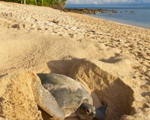 Green turtle (Chelonia mydas) laying her eggs and covering her nest on the beach in the daytime. Turtle Island Park (Taman Pulau Penyu) in Sabah, Borneo in Malaysia. Selingan Island