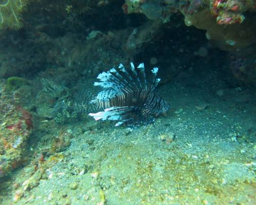 Diving Lionfish (Pterois) on Coral Reef Bali. (1)