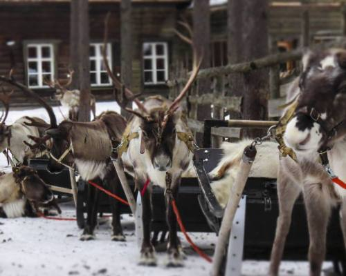 Lapland Safaris Snowmobile safari to reindeer farm - Kelkkasafari porotilalle 4